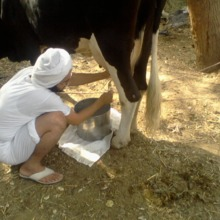 """<div style=""""text-align: center;"""">As a Mandaean priest, Tarmida Anmar cannot eat or drink any processed food or drink such as dairy from the supermarket. Here he milks a cow belonging to the priests on a farm close to the main Mandi (temple) in Baghdad.</div>"""